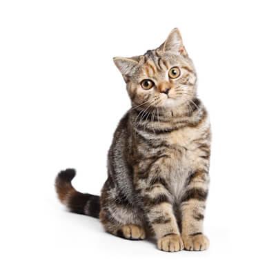 Feline panleucopenia (Feline infectious enteritis)