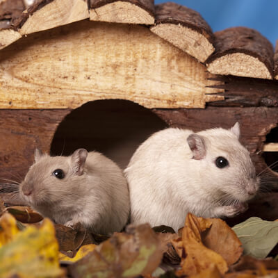 Gerbils: behaviour