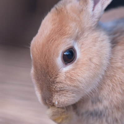 Intestinal obstructions in rabbits