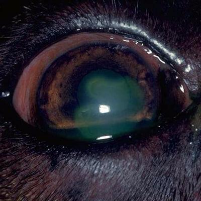 Corneal Ulcers – A Sore Eye