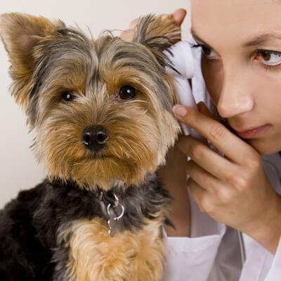 Ear Disease In Your Dog