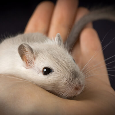 Gerbils: How To Give A Health Check