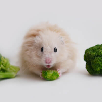 Hamsters: Feeding A Healthy Diet