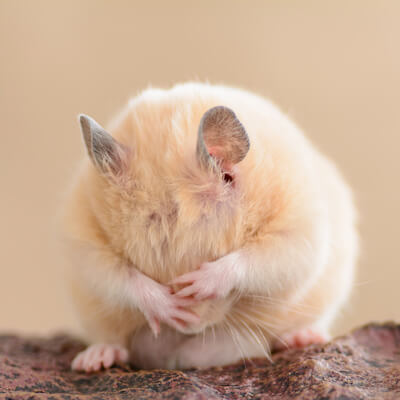 Hamsters: Parasitic Diseases