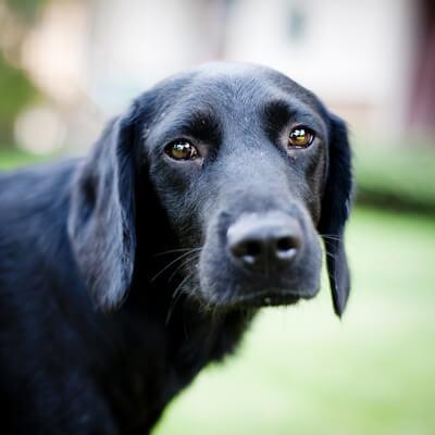 Canine Lymphoma
